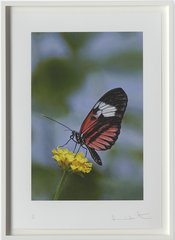 Postman Butterfly on Aster, by Damien Hirst