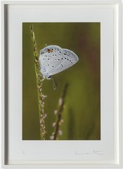 Eastern-tailed blue butterfly on Summer Grass, by Damien Hirst