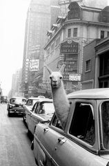 USA. New York City. 1957. A Llama in Times Square., by Inge Morath