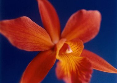 Tapp Francke - Orange Orchid on Dark Blue