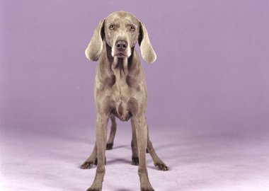 William Wegman - Batty Back Up