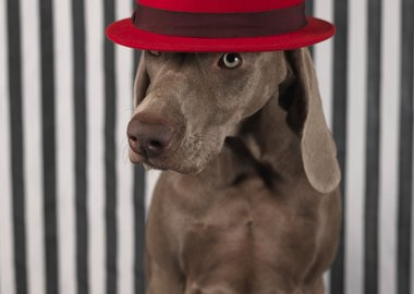 William Wegman - Red on Head