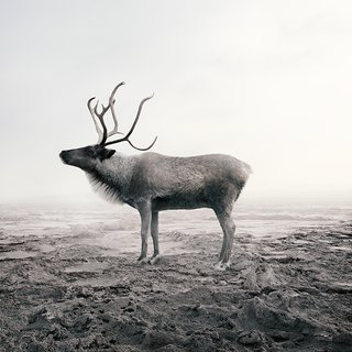 Calm Caribou art for sale