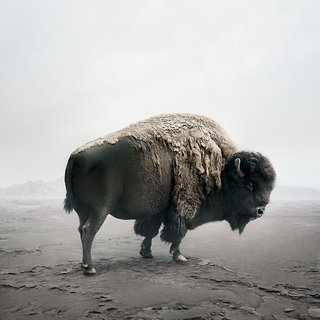 Be Here Bison art for sale