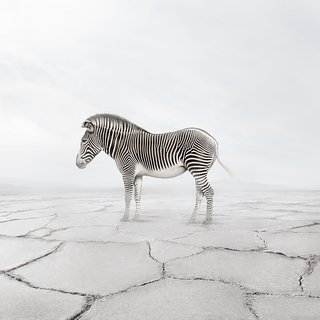 Zen Zebra art for sale