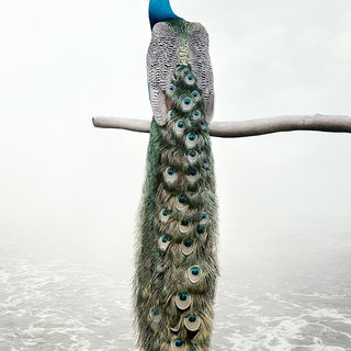 Patience Peacock art for sale