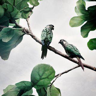 Comfort Me Conures (Large) art for sale