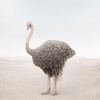 Onward Ostrich art for sale