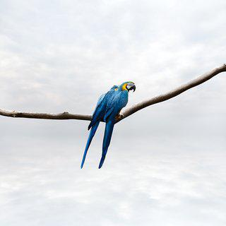 Pondering Parrot (Large) art for sale