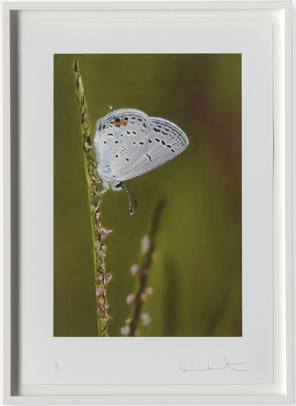 Eastern-tailed blue butterfly on Summer Grass art for sale