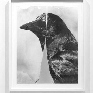 Cleaved Crow art for sale