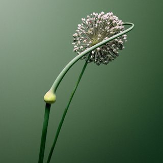 Allium sp. art for sale