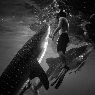 Whale Sharks art for sale