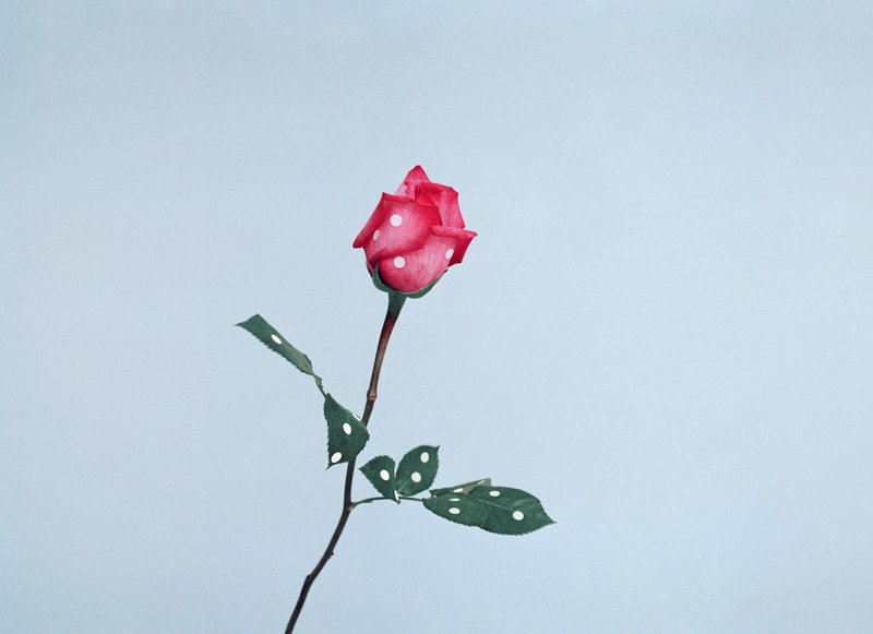 main work - Ina Jang, A Rose