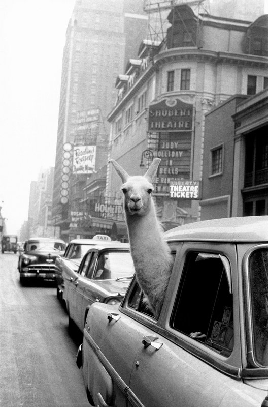by inge_morath - USA. New York City. 1957. A Llama in Times Square.
