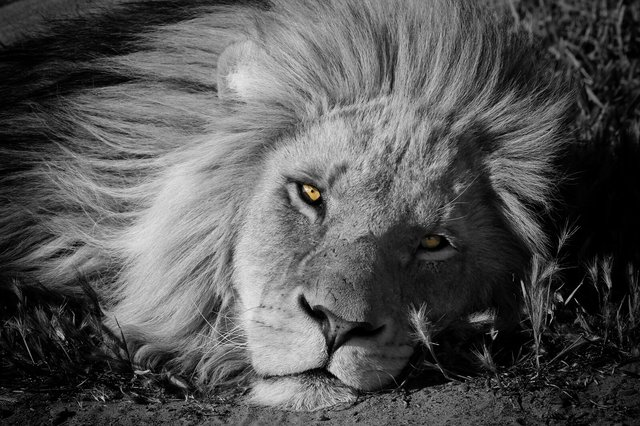 Jytte Friedholm Ferreira - Power and Glory (Lion Male, Botswana)