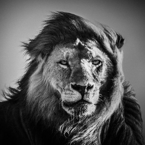 Laurent Baheux - Face to face with a lion, Tanzania