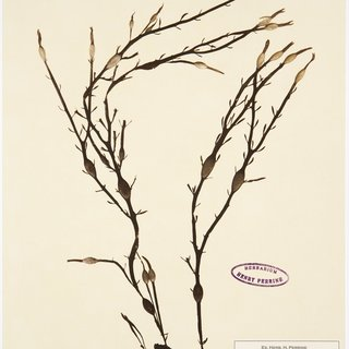 Herbarium art for sale