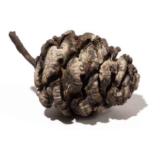 Untitled (Pine Cone) art for sale