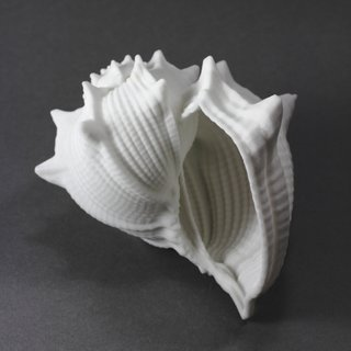 Ribbed Conch art for sale
