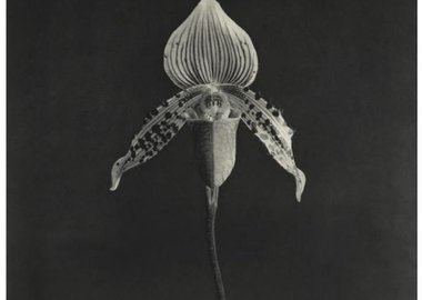 Robert Mapplethorpe - Orchid
