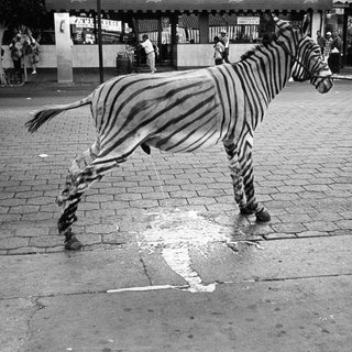 A burro painted as a zebra taking a pee on the street of Tijuana, Mexico art for sale