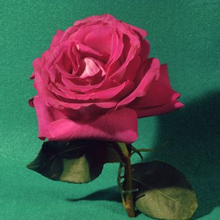 Magenta Rose art for sale