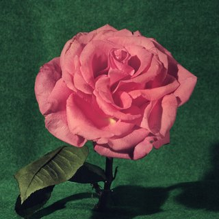 Pink Rose art for sale