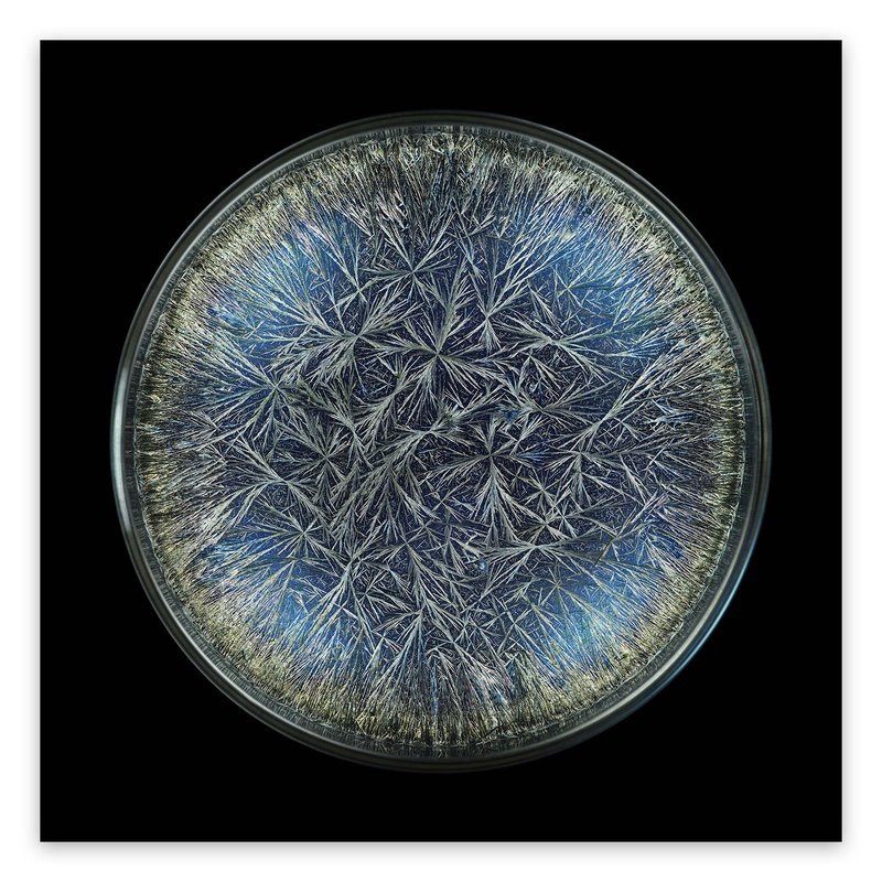 main work - Seb Janiak, Morphogenetic Field - Dandelion (Pissenlit) (Large)