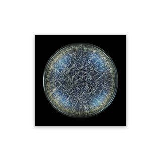 Morphogenetic Field - Dandelion (Pissenlit) (Medium) art for sale