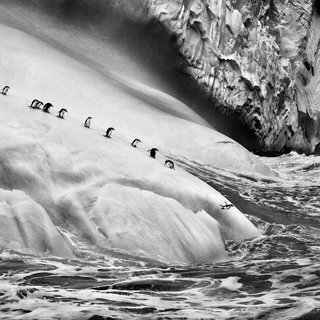 Chinstrap penguins dive off icebergs located between Zavodovski and Visokoi islands in the South Sandwich Islands art for sale