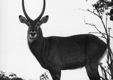 work by George Rodger - Africa. 1958. Antelope