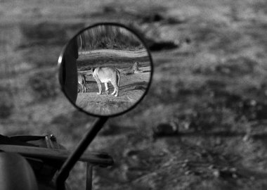 George Rodger - Nairobi National Park. 1958. A lioness in Nairobi National Park.