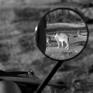 Nairobi National Park. 1958. A lioness in Nairobi National Park. art for sale