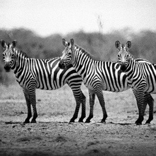 A small group of Zebras in the Kazinga Channel. 1948. art for sale