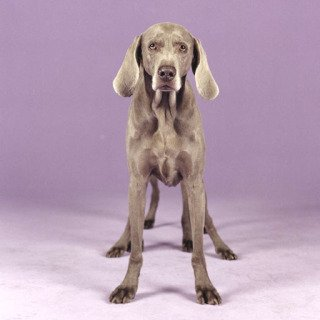 William Wegman, Batty Back Up
